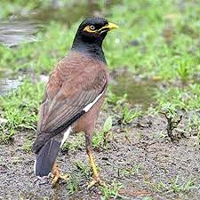 Indian Myna birds moving in